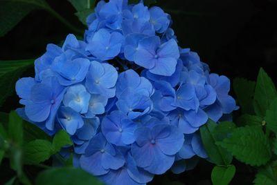 2012-07-11ajisai4