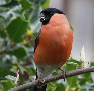 Bullfinch copyright Ross Middleton 2016 e1493195180351