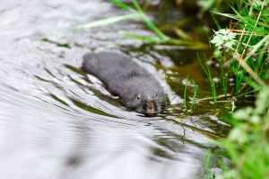 Water Vole copyright Laurie Campbell 2016