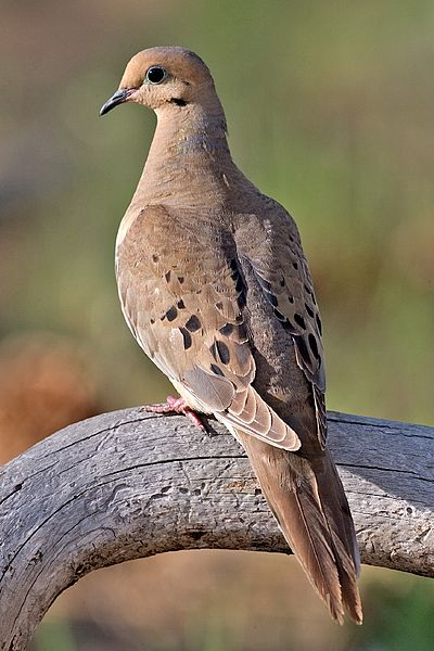 400px-Mourning_Dove_2006