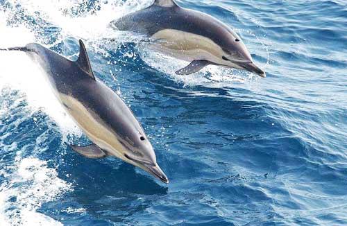 500pixelswide-Common_dolphin_noaa