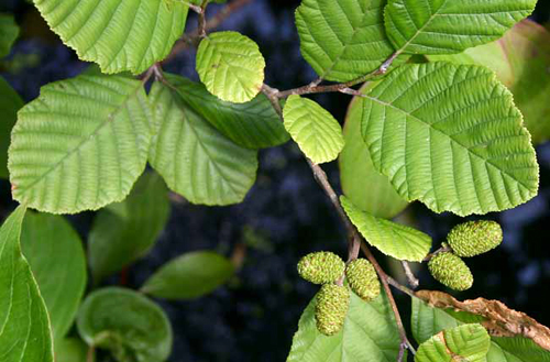 Alnus_incana_rugosa_leaves,re-sized