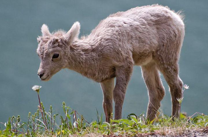 Bighorn_lamb_Alberta
