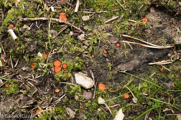orange-fungus