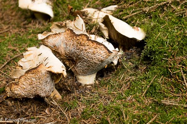 trumpet-mushroom