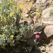 Brittlebush and Prickly Pear, side by side