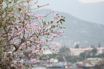 長洲櫻花樹旁的樹木