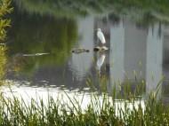 Egret-pond2.jpg
