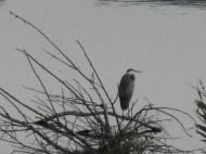 Great-Heron4.jpg