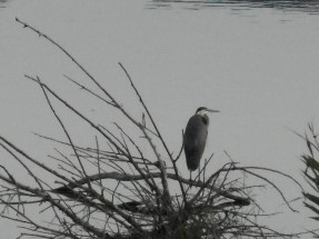 Great-Heron4.jpg