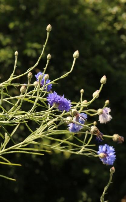 bleuet bleu qui pousse sur le balcon dans une petit jardinière