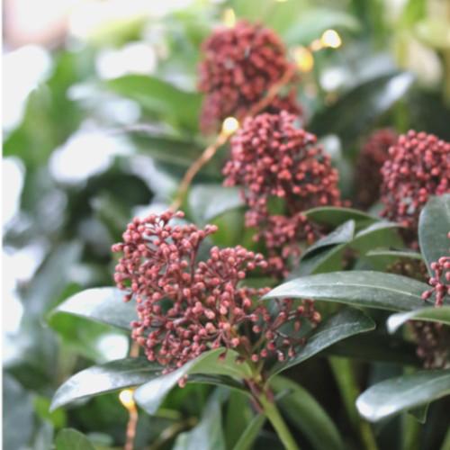 skimmia japocina plante rustique hiver sur balcon | jardinerie échoppe végétale
