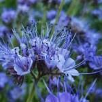 phacélie, graines mellifère pour abeille box jardinage, échoppe végétale
