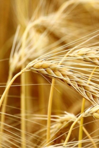cultiver l'orge de blé, plante detox au balcon