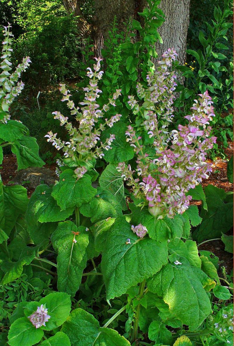 cultiver sauge sclarée au balcon et fenetre en ville pour plantes médicinales