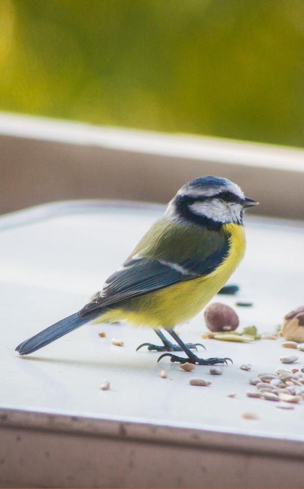 mesange bleue et jaune, mange des graines mangeoires