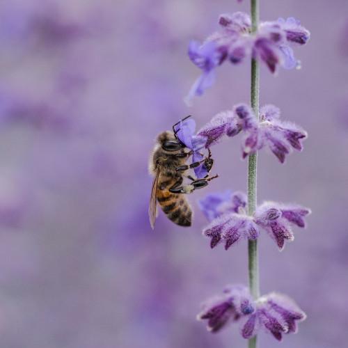 abeille butine lavande sur balcon