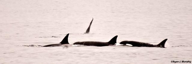 Orcas- echos verts- ©Ryan J. Murphy
