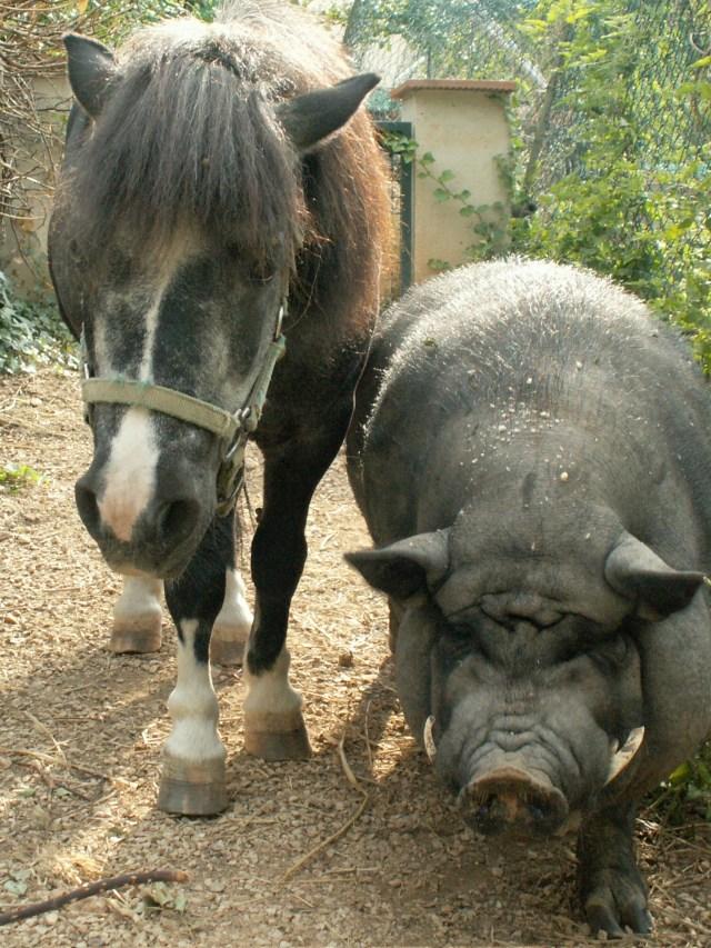 amitié poney cochon