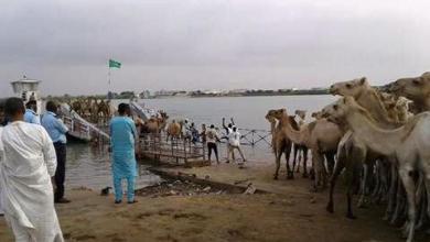 صورة الحكومة السنغالية تبدأ في إجلاء آلاف المواشي الموريتانية