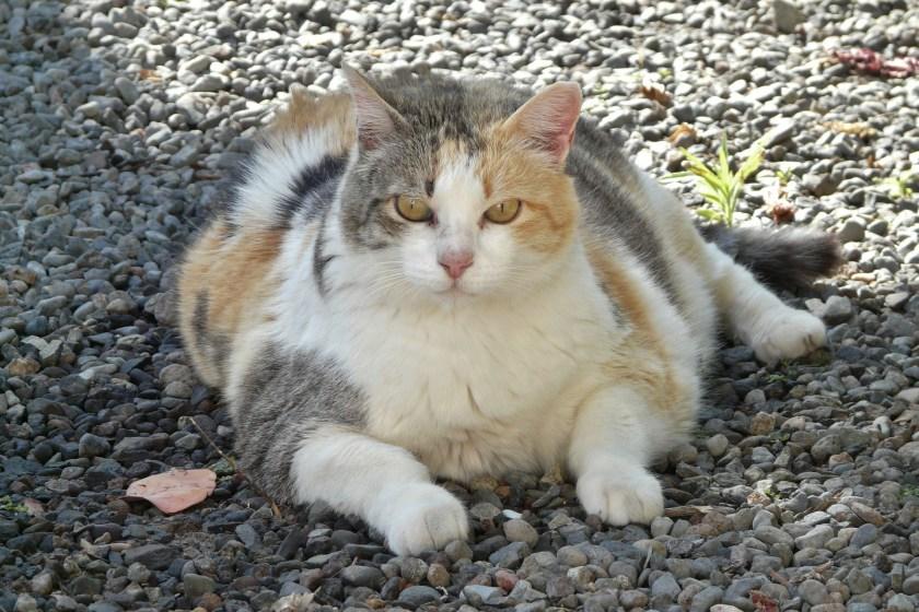 Cat weight gain