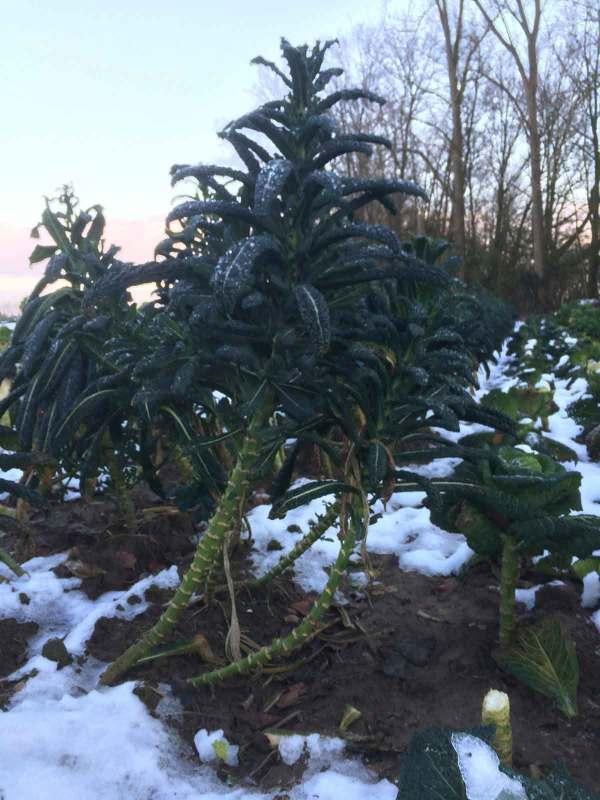 Pesto van palmkool voor de winter CSA recept pesto van kool
