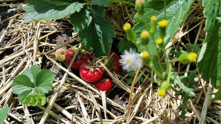 Die Erdbeeren auf dem Feld sehen super aus.