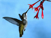 hummingbird_image