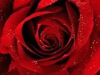 rose-image
