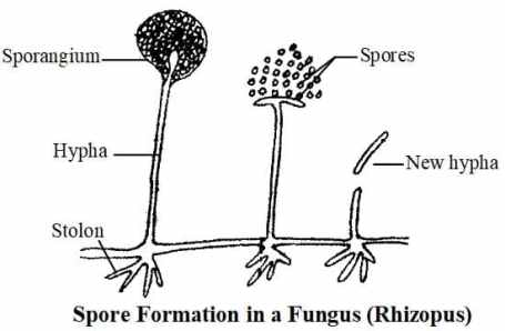 Spore formation in a fungus