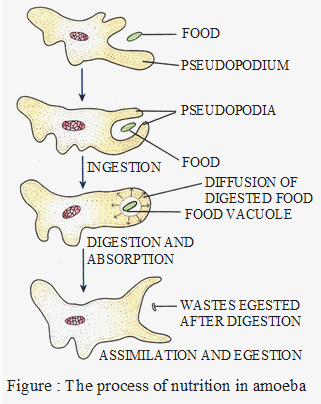 Process of nutrition in amoeba