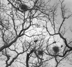 Mepal elms