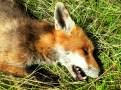 a dead fox