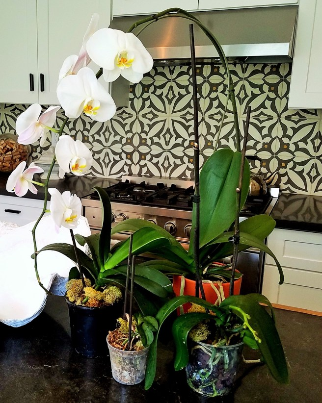I have received many beautiful blooming orchids as gifts over the years and, until recently, they all died shortly after the initial bloom.