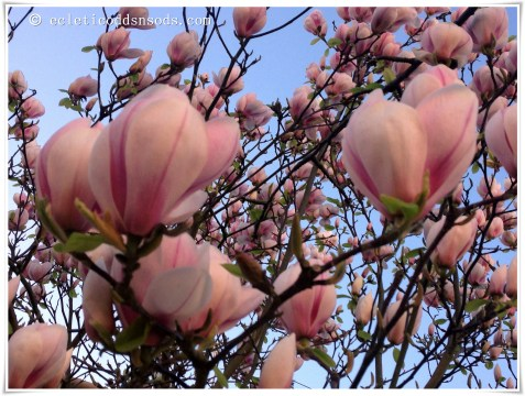 My favorite tree Magnolia, simply stunning.