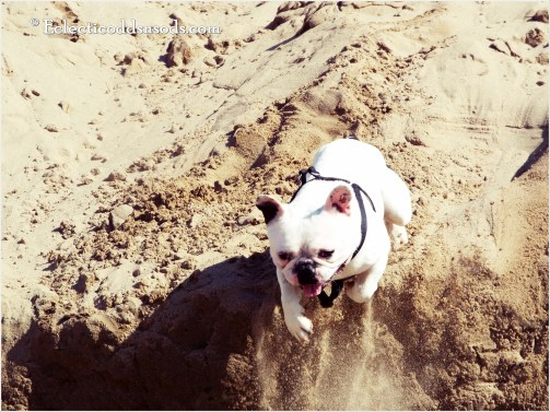 In this picture my Frenchie jumps off a sandy ledge about 10 feet