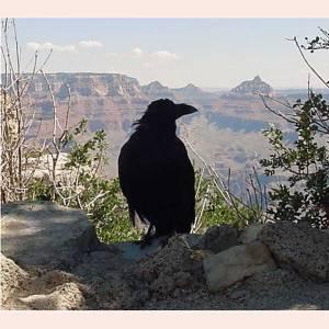 RavensNest Raven