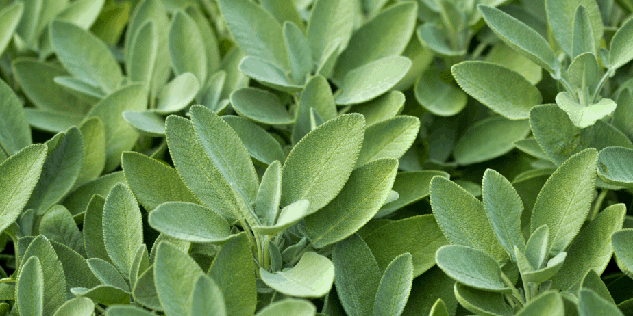 Live sage plant leaves