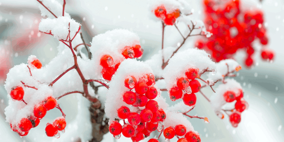 Red berries covered in snow