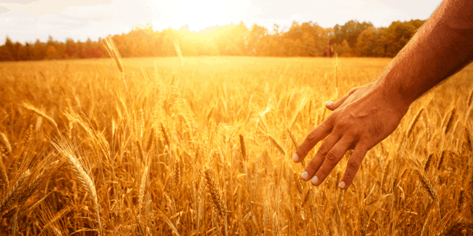 A man caressing golden wheat on a sunny day
