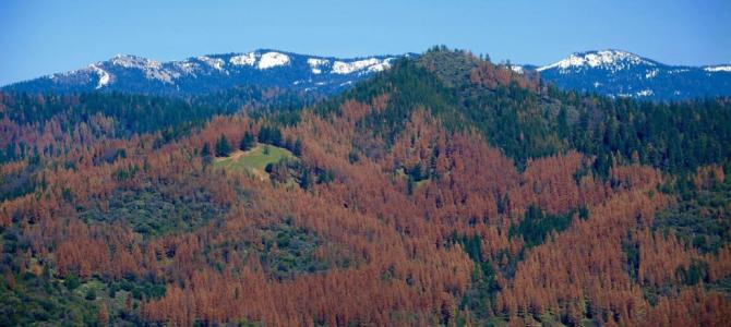 Dying trees in California.  100 million dead not 66 million.