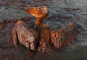 Pelikaan verdrinkt in olie