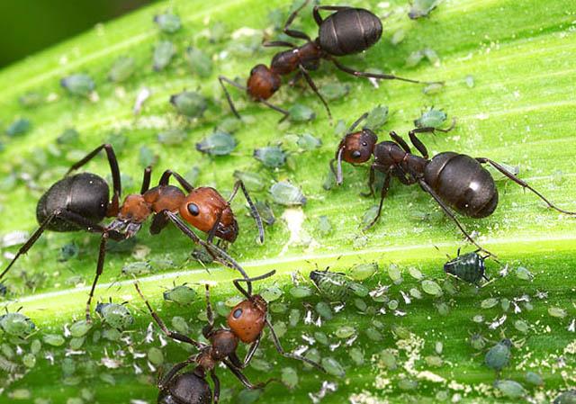 фото рыжие муравьи