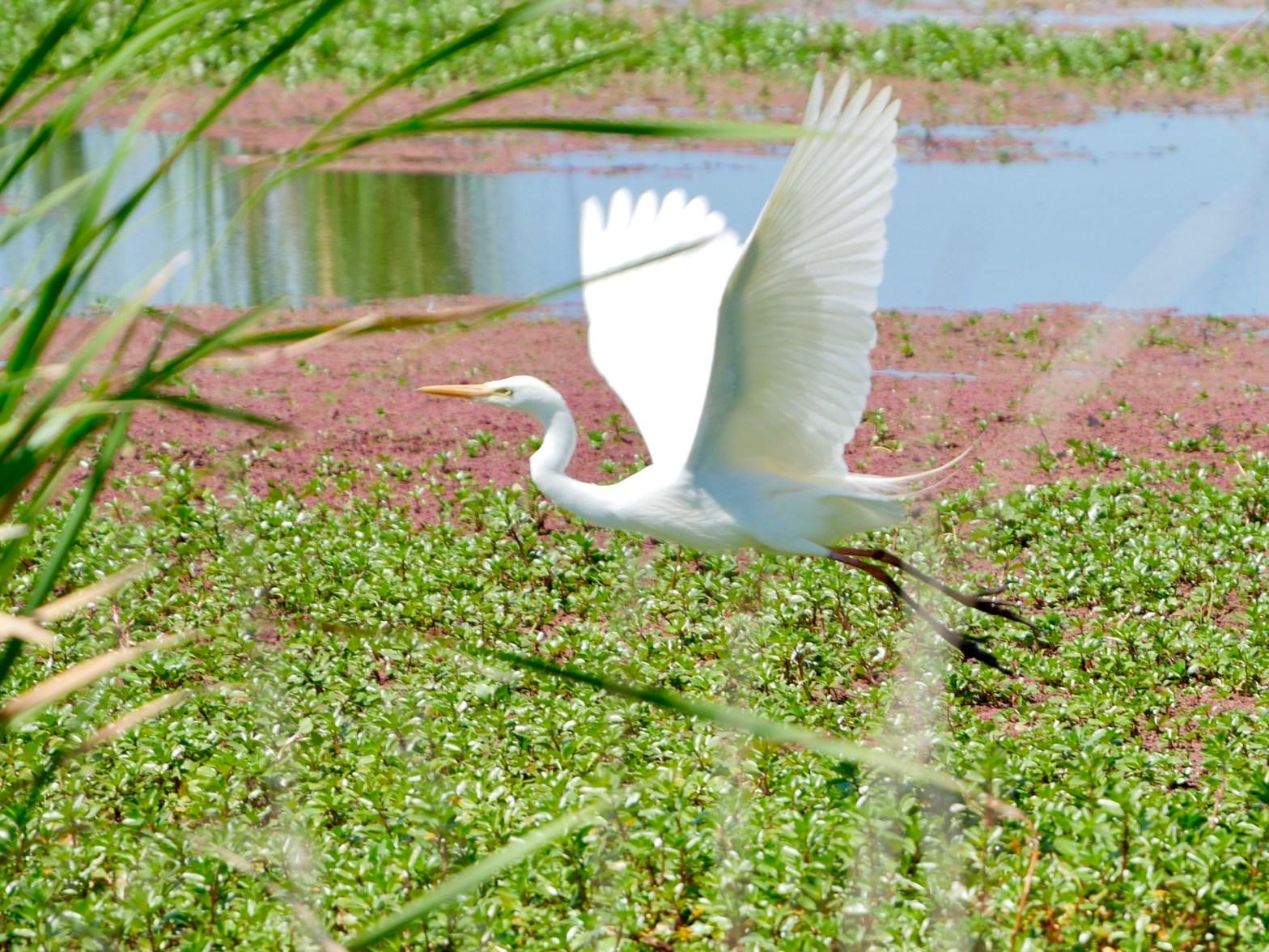 Intermediate egret on Willancorah wetland in the Macquarie Marshes
