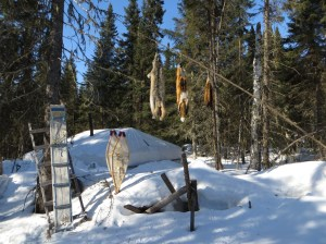 This was the first sight walking into camp. Behind the handmade snowshoes is the cook tent where we ate three times a day. The animal skins from left to right are lynx, fox and  mink.