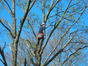 Dave Pighetti contemplates which branch to prune next.