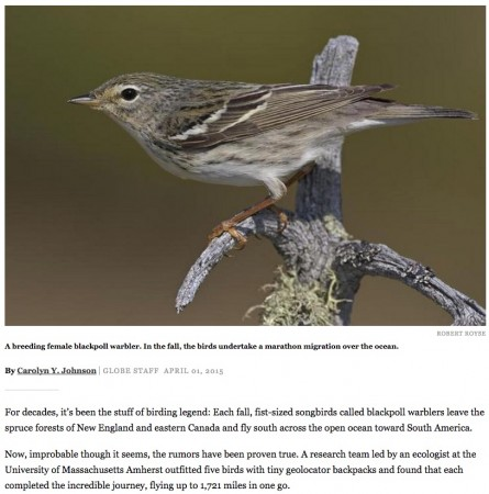 Tiny Blackpoll warblers