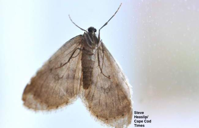 Joseph Elkinton Using Predator Flies to Fight Winter Moths
