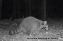 Graduate Student, Hollie Sutherland's Wildlife Trail Camera Project Featured in Boston Globe