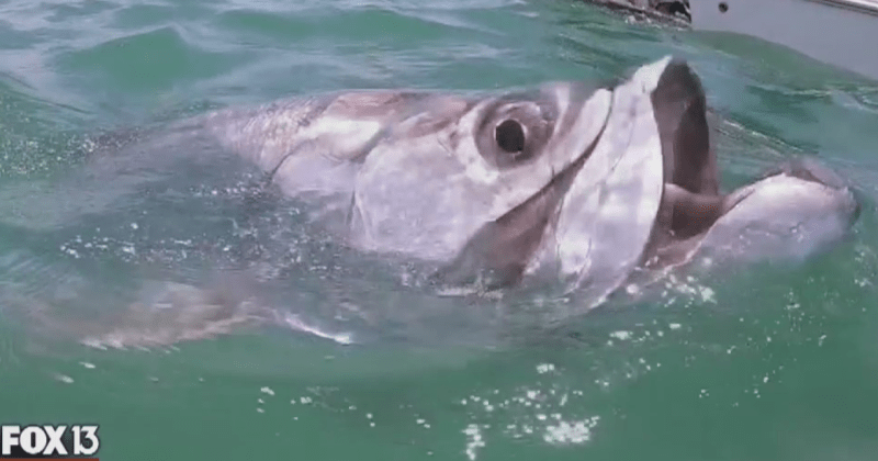 Graduate Student, Lucas Griffin's Tarpon Research Featured